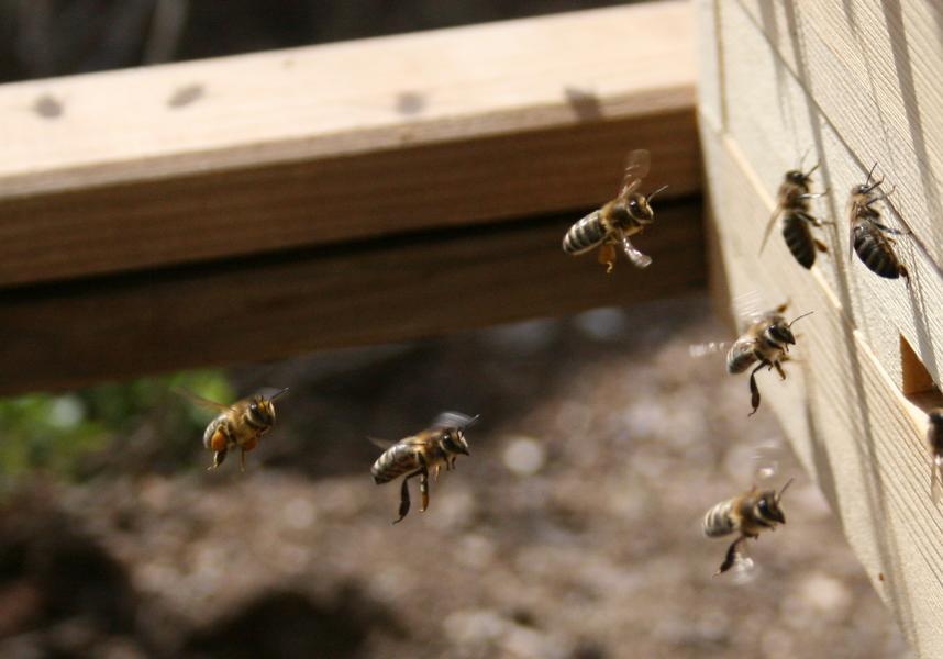 Bienen kommen nach Hause