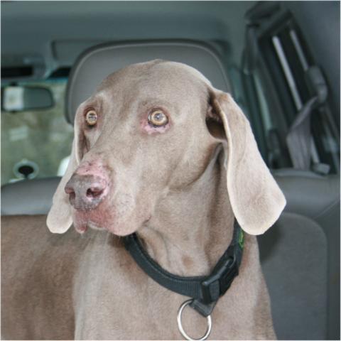 Apitherapie bei Hunden, Hilfe durch Propolis