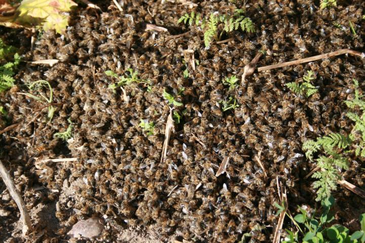 massives Bienensterben