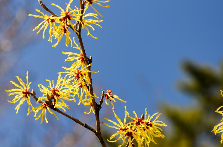 Hamamelis in der Kosmetik