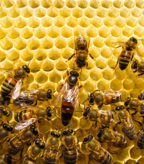 Gelee Royale für die Bienenkönigin