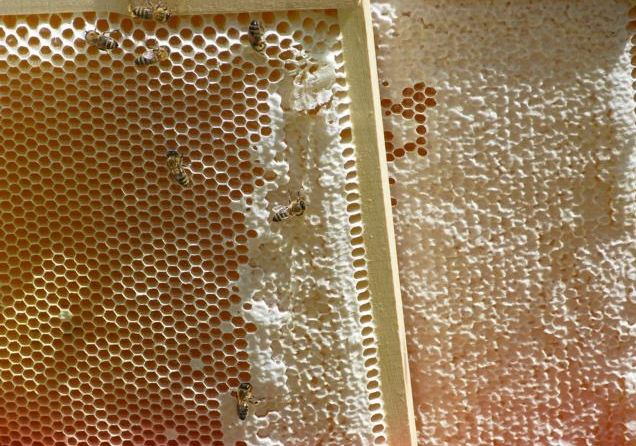 Honigwaben mit Frühtracht