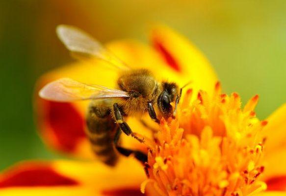 Bienengift akupunktur in Korea