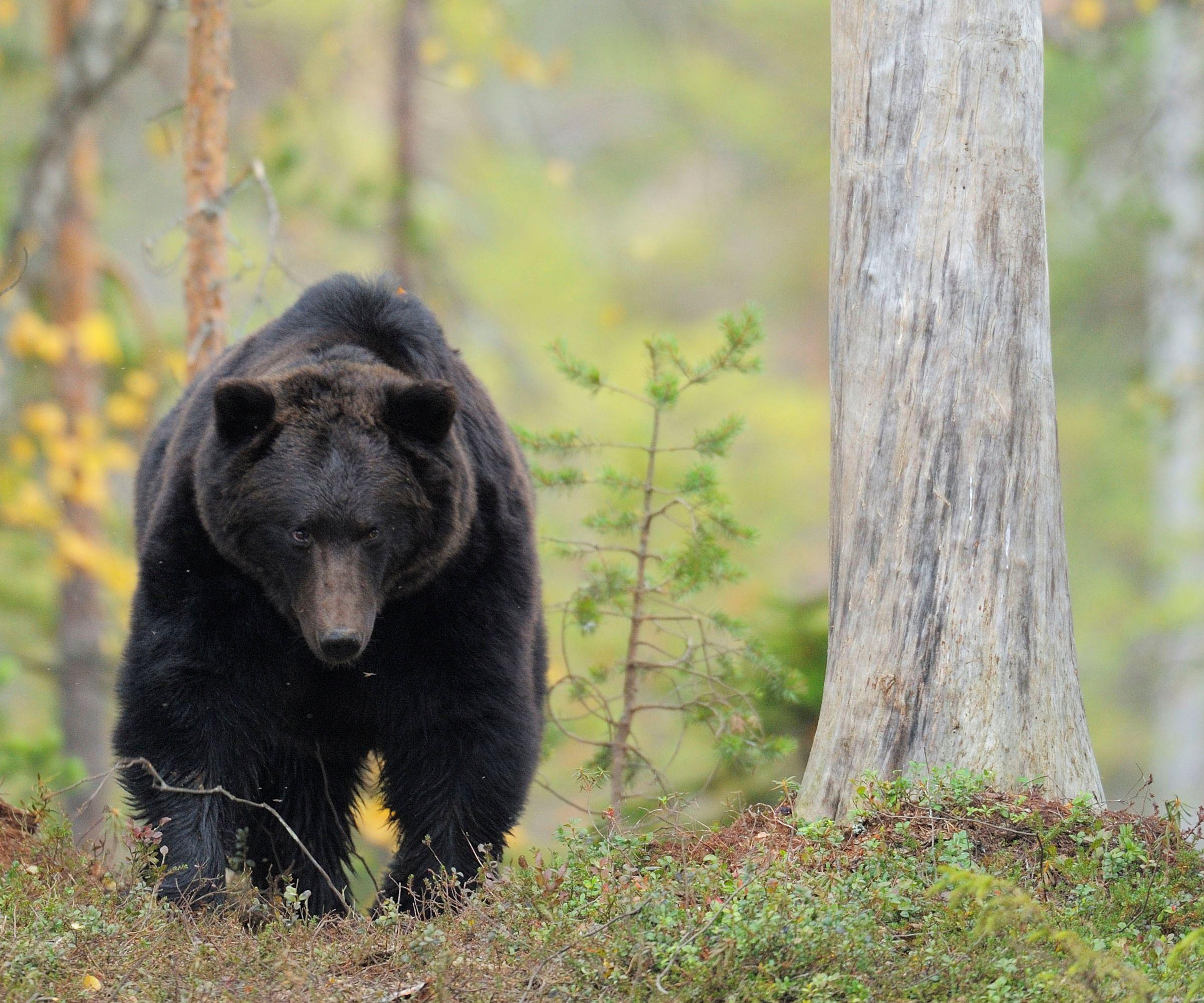 Bären fressen Honig und Bienenlarven