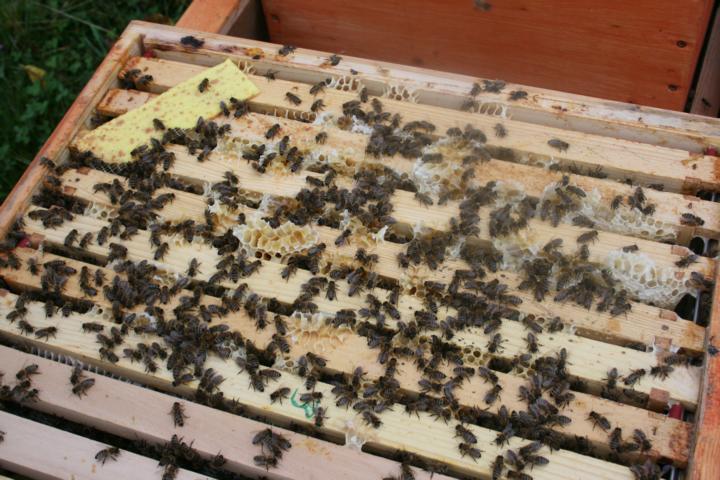 Bienenvolk nach Thymol