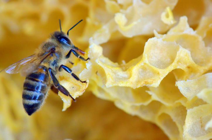 Bienenwachsproduktion