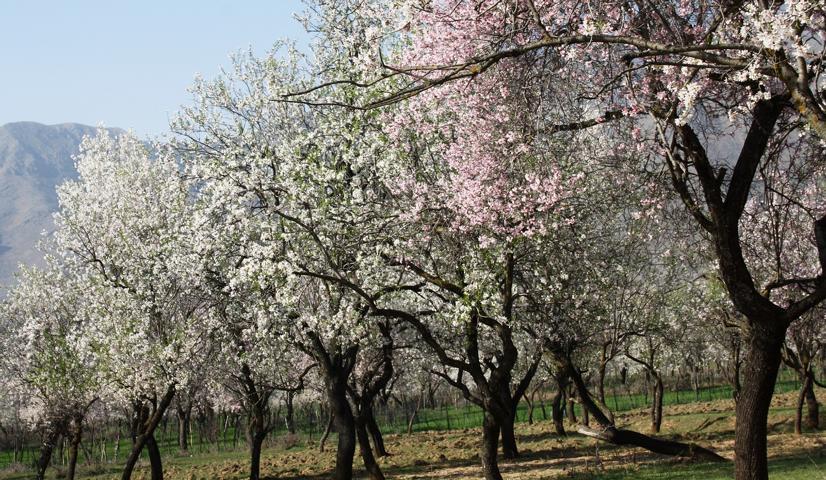 Bienen, Mandelblüte
