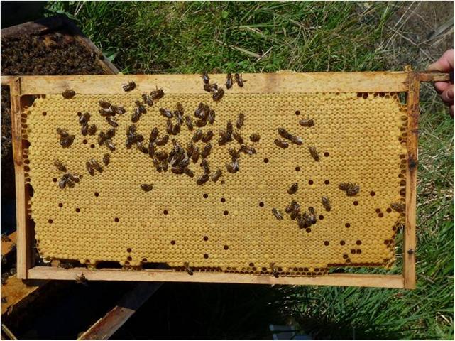 Binder, Bienenbrut