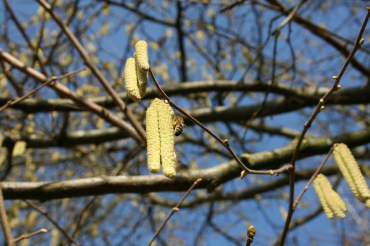 Haselnuss, Pollen