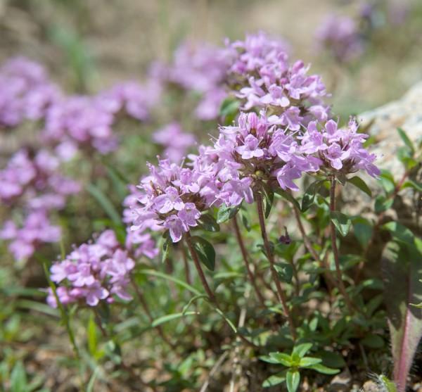 Quendel, Heilkraut, würzkraut. Bienenweide, Bienen, Hildegard von Bingen, Thymian, Gesundheit, Thymol