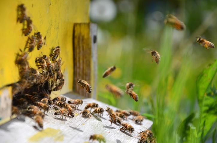 Bienenstockluft - gefährliche Apitherapie?