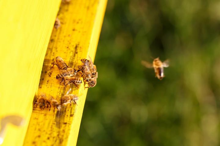 Bienen, Winter, Reinigungsflug, Kotblase