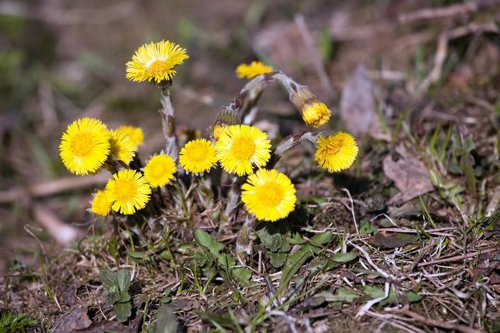 Huflattich, Bienenweide, Bienen, Tussilago, Heilpflanze