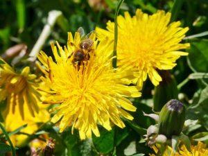 Löwenzahn bietet den Bienen ideale Nahrung