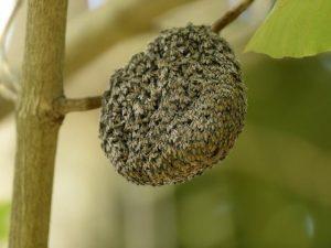 Bienenschwarm, Imker, Bienenkönigin