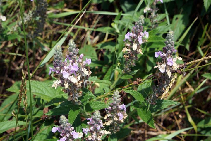 Kathenminze, Nektar und Pollen, Katzenkraut
