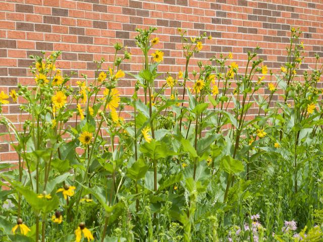 Durchwachsene Silphie - Bienen-Trachtpflanze und Biogas-Alternative