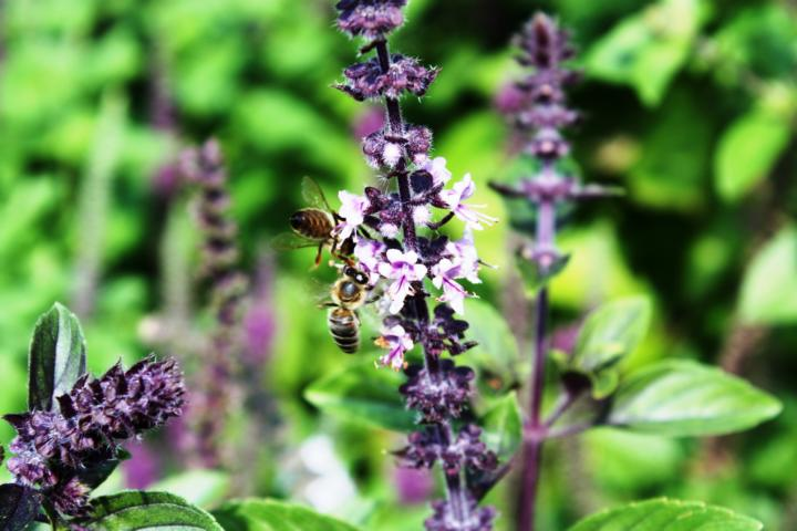 Basilikum ist Würz- und Heilpflanze sowie Bienen-Nahrung bis Herbst