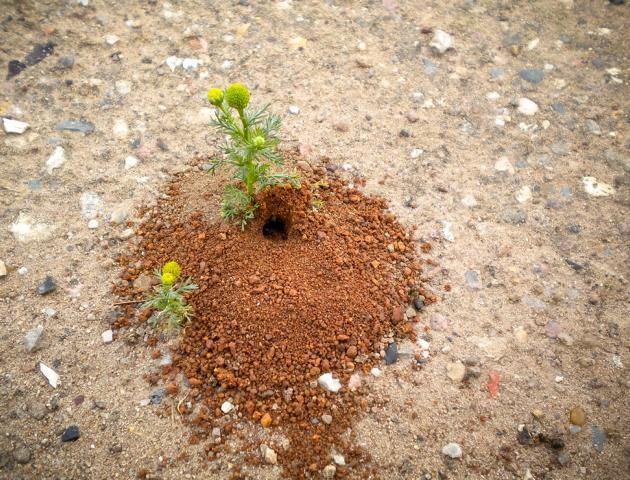 Knautien-Sandbiene - Wildbiene des Jahres 2017