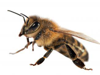 Bienengift bei MS Parkinson und weiteren Erkrankungen