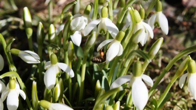 Schneeglöckchen liefern Bienen Nahrung