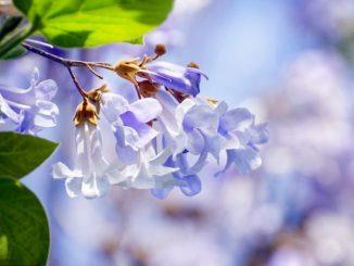 Der Blauglockenbaum gehört zu den vielseitigsten Pflanzen