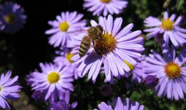 Herbstastern bieten Insekten Pollen und Nektar