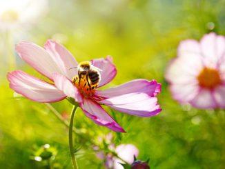 Nektar ist der Treibstoff für Biene und Hummel