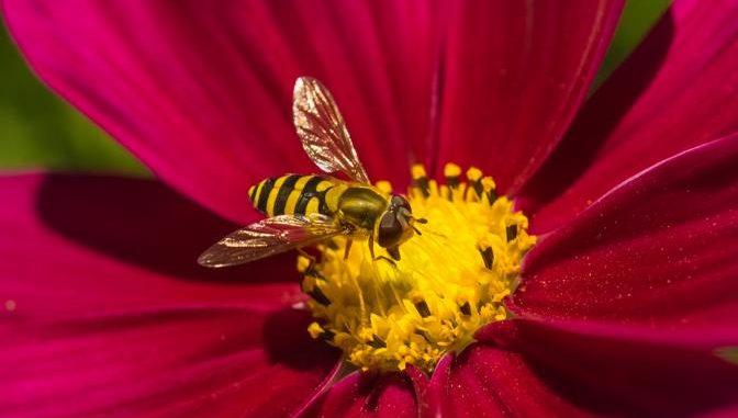 Schwebfliegen imitieren Biene oder Wespe