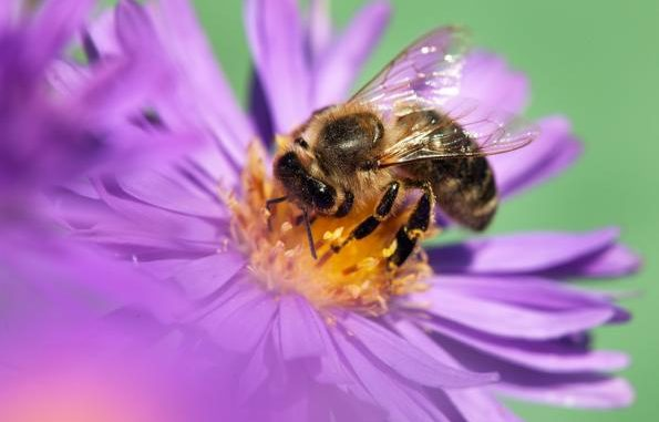 Honigbiene stammt aus Europa