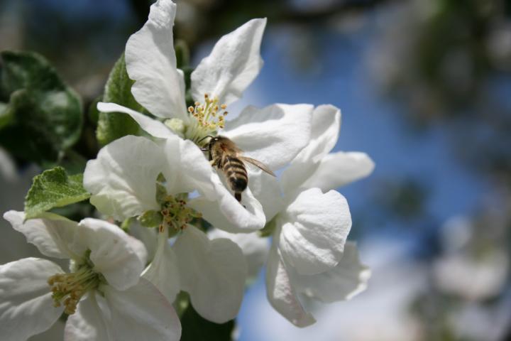 Bienen können auch stechen