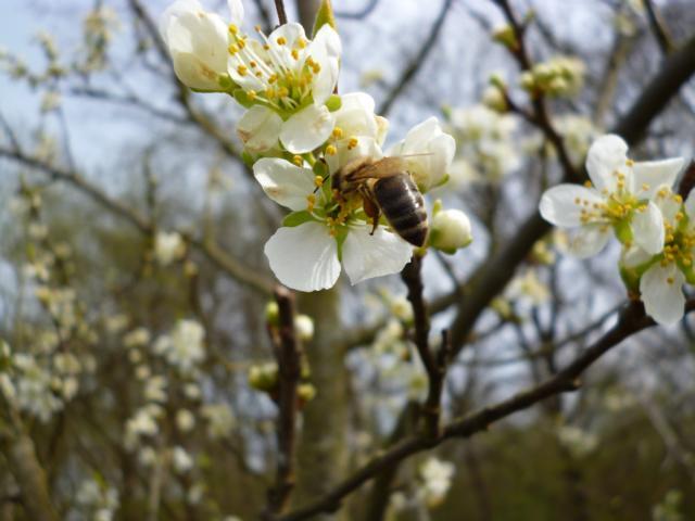 Bienen bestäuben Obstbäume