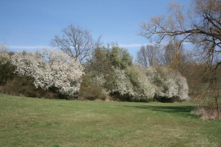 Heckenblüte