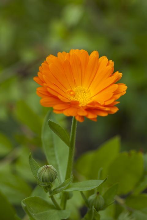 Ringelblume ( Calendula officinalis) wird seit dem Altertum verwendet