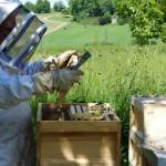 Brutwaben aus dem Honigraum werden aussortiert