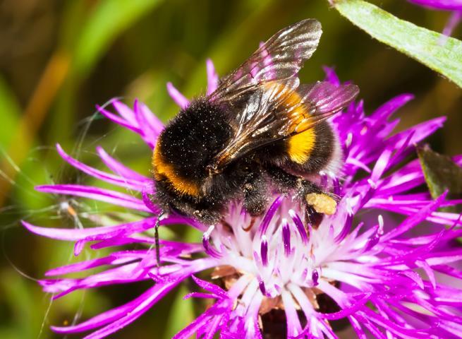 Krankheitsübertragung Bienen Hummeln