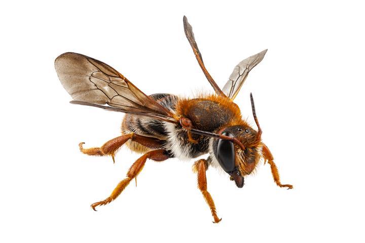 Wildbienen erfüllen wichtige Bestäubungsaufgaben