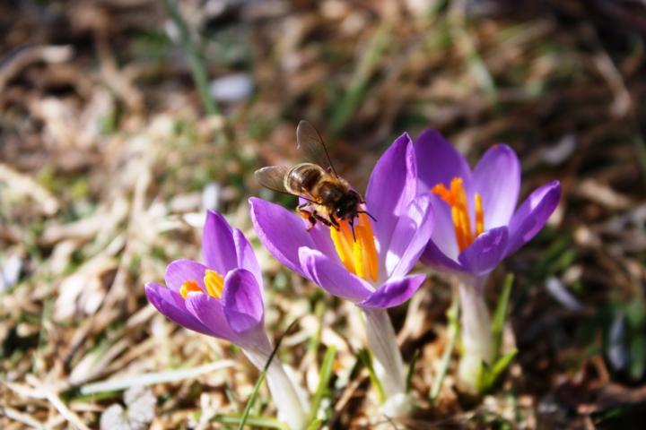 Krokus, Nektar und Pollen für Bienen