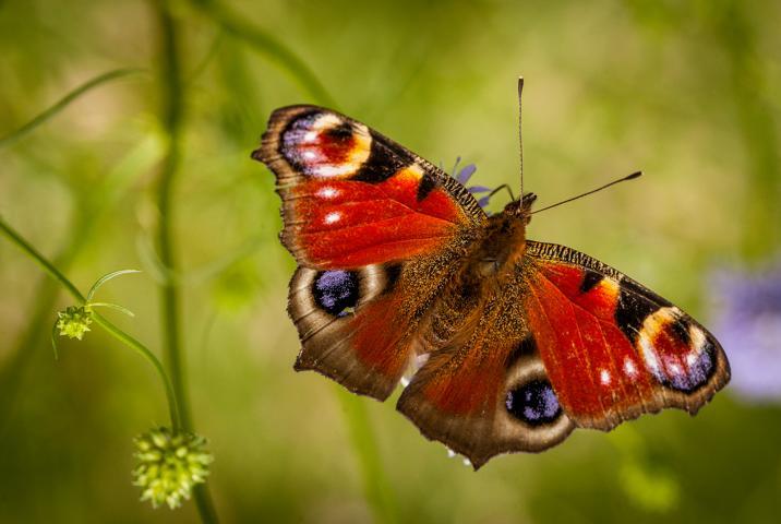 Salweide auch für Schmetterlinge wichtig