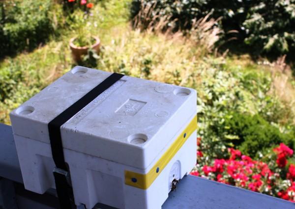 Apideakasten, junge Bienenkönigin, heranwachsen, entwicklung Bienenkönigin