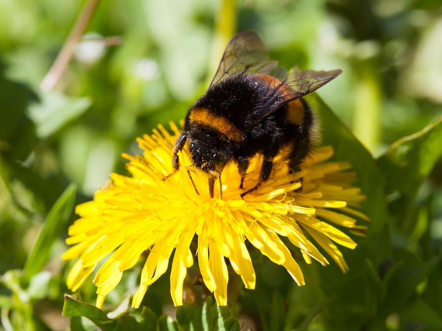 Hummeln bedroht Klimawandel anpassungsfähigkeit Hummelsterben Bienensterben Hitze