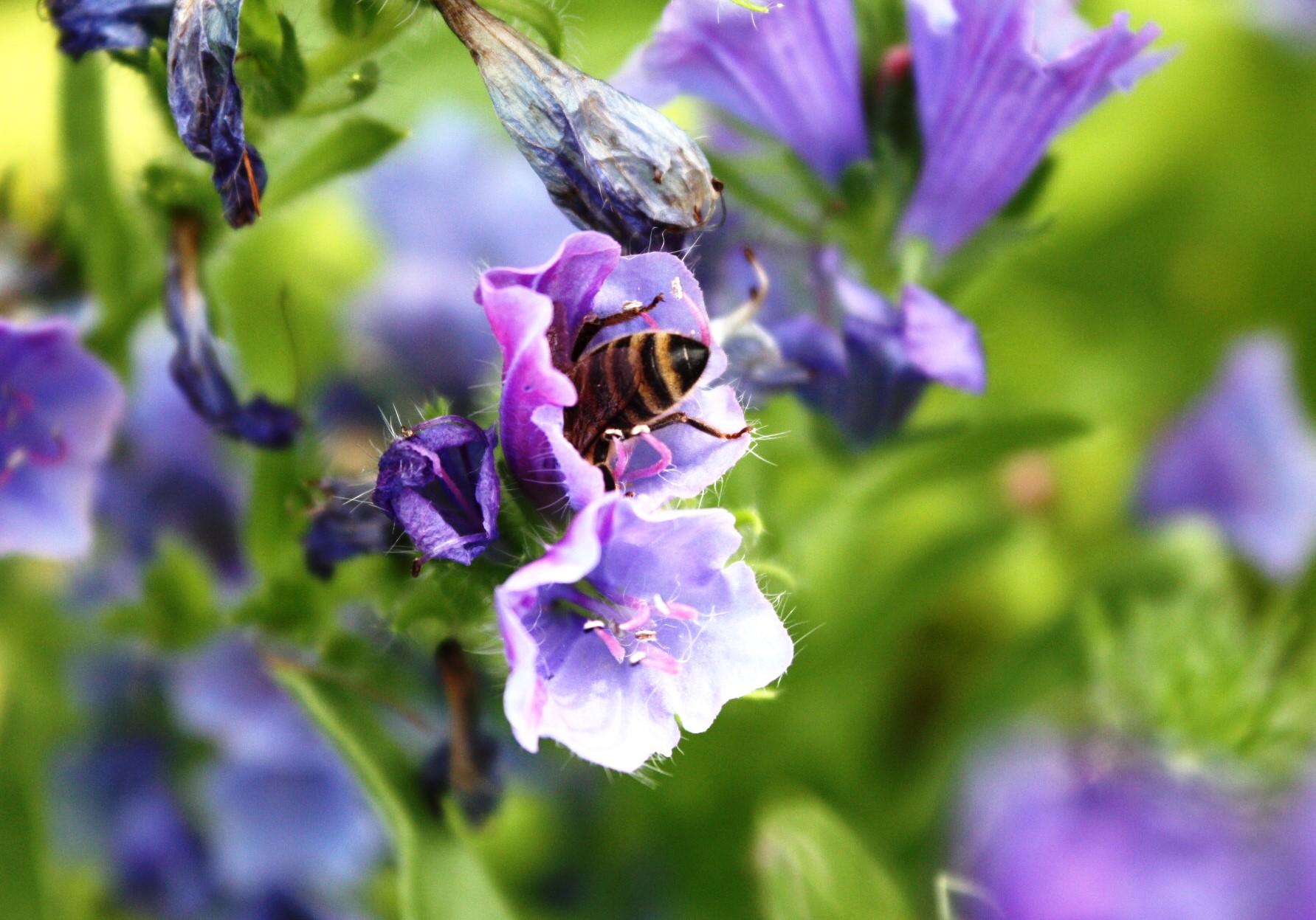Blauer Natterkopf, Bienenweide, akrobatisch, Honigbienen