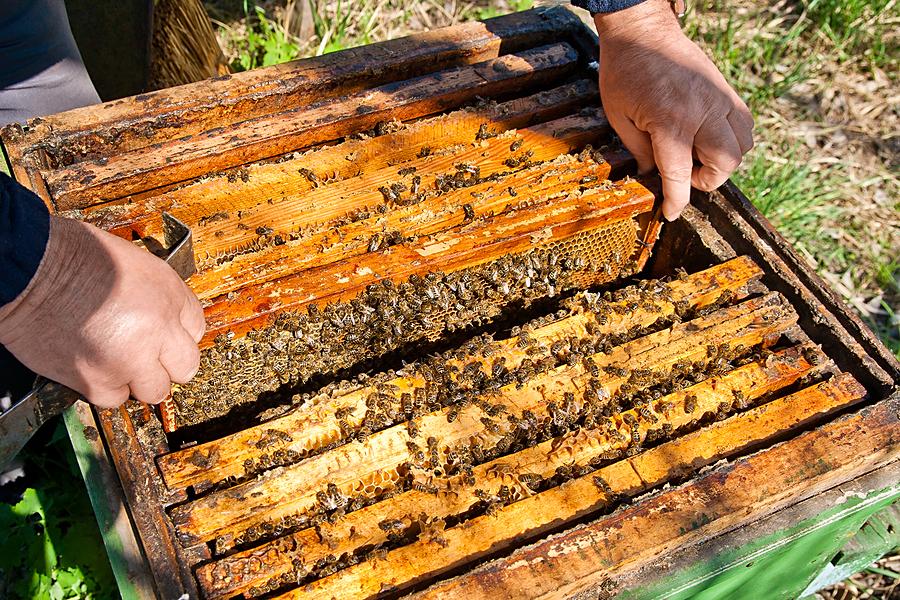 Winterfütterung der Bienen, macht Zucker die Bienen krank?