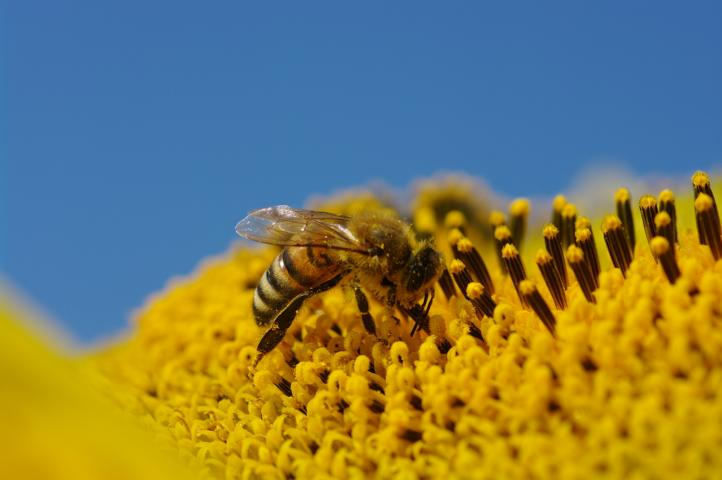 Blütenpollen, Bienen, Schimmel, Pilze, Brasilien
