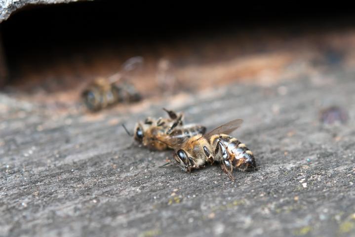 Selen irritiert Bienen und führt zum früheren Tod.