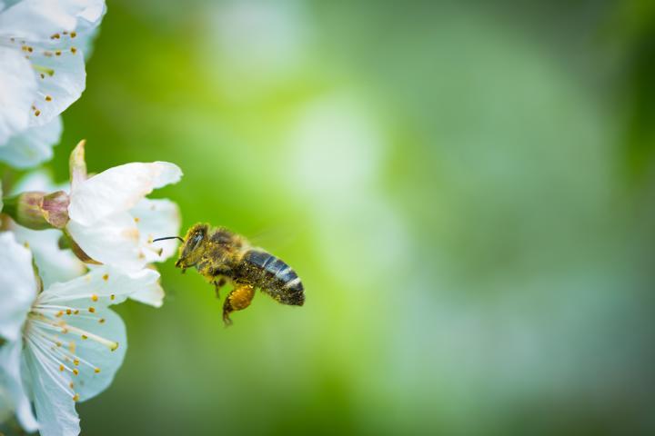 Bienen, Bestäuben, Nektar, China, Bestäuben von Hand, Pestizide