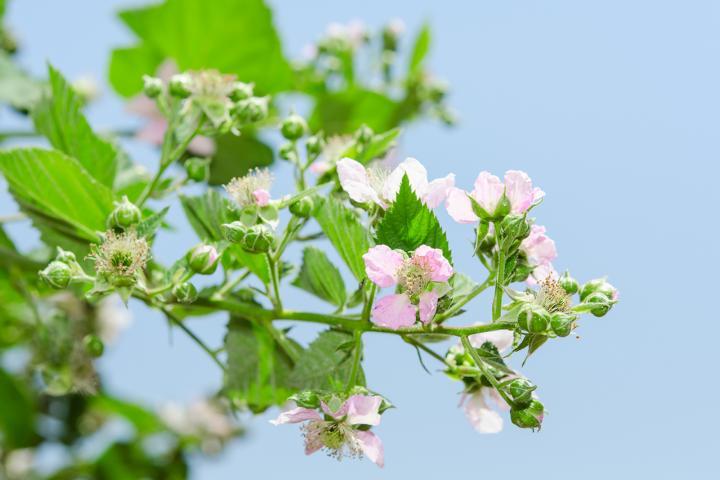 Himbeer-Blüten, Bienen-Blüten