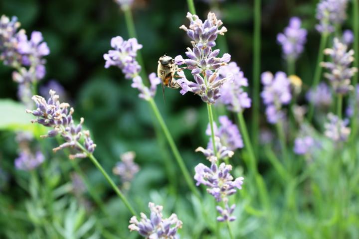 aus Lavendel entsteht Lavendelhonig und hochwertige Aromaöle