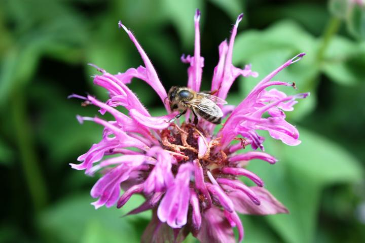 Oswegokraut Bienenweide Hummeln Bienen