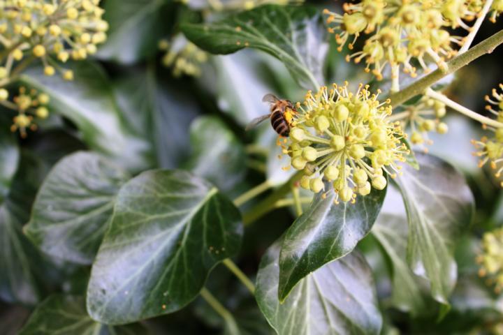 Efeu bietet Bienen Pollen und Nektar im Herbst